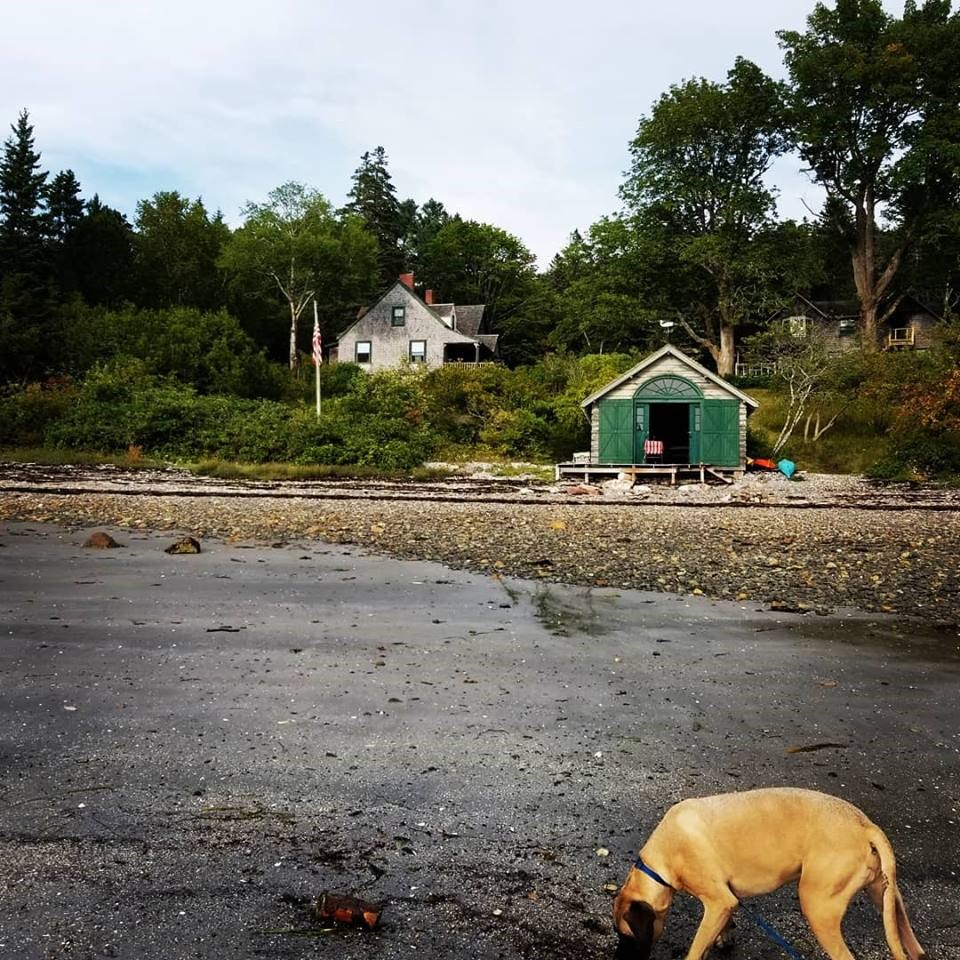Mastiff on rocky beach in Maine